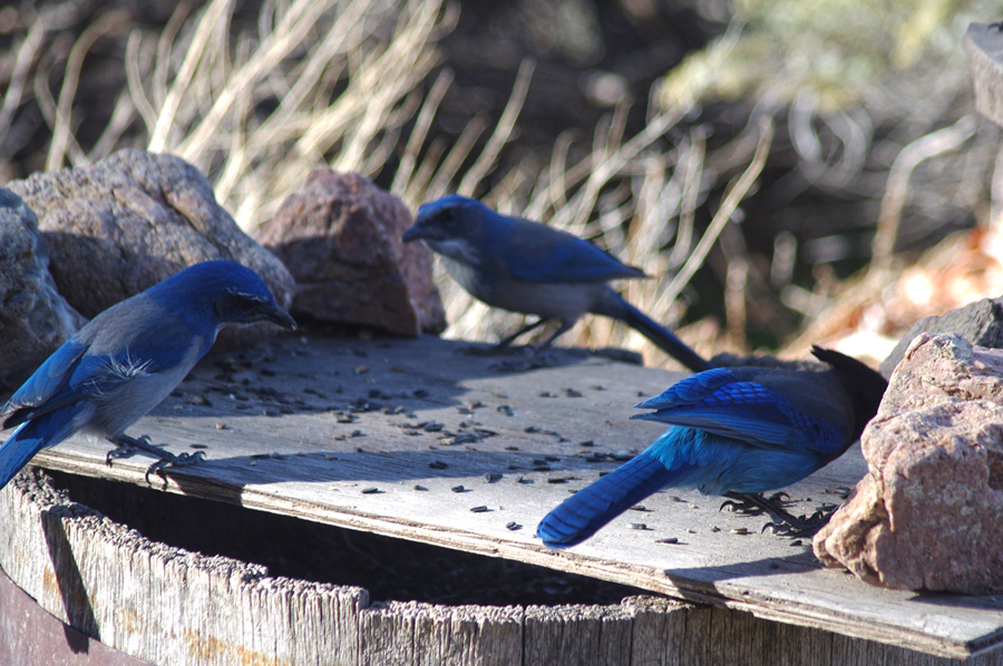 scrub jays and Stellar's jay