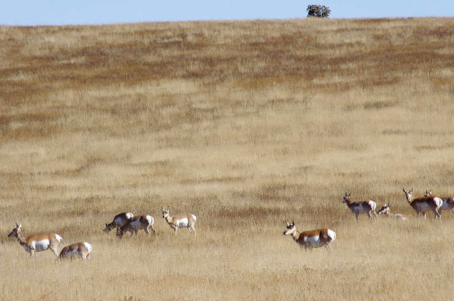 pronghorn antelope near Cimarron, NM