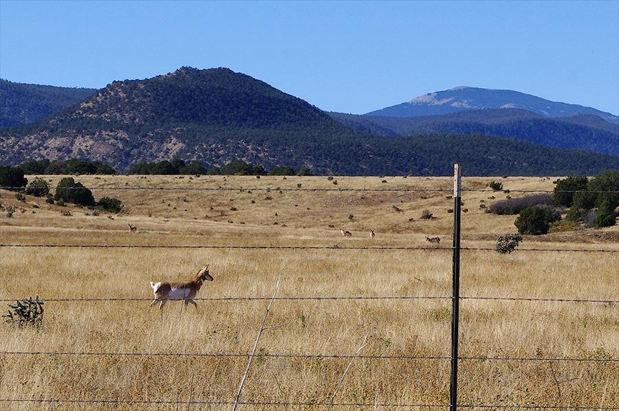 Pronghorn antelope outside Cimarron, NM