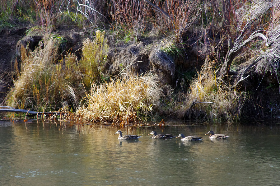ducks on the Rio Grande