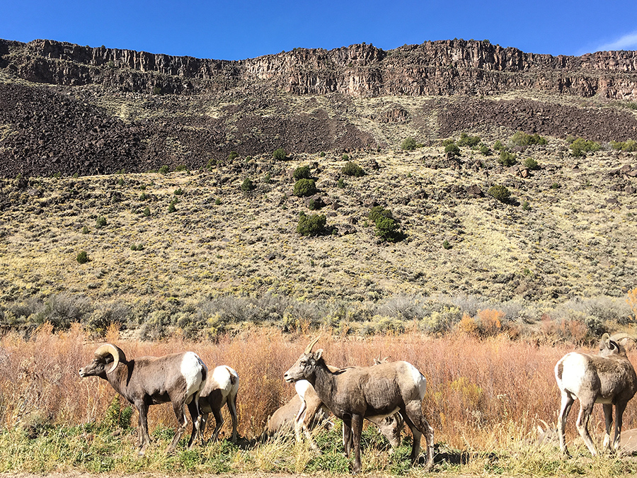 Bighorns by the side of the road