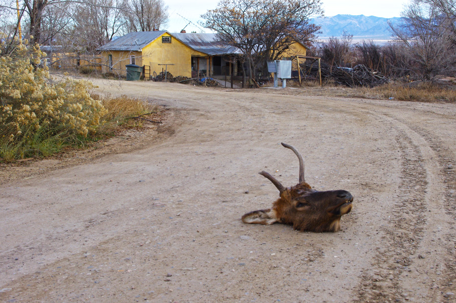 elk head lying in the road in Taos, NM