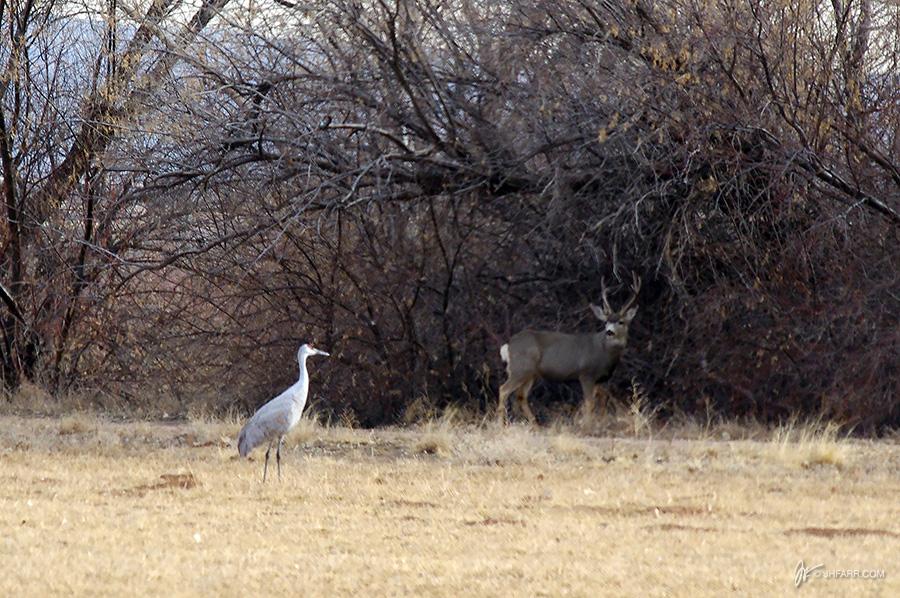 Sandhill crane meets mule deer stag