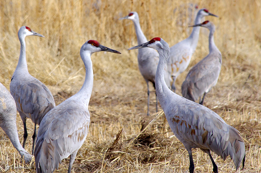 sandhill cranes up close