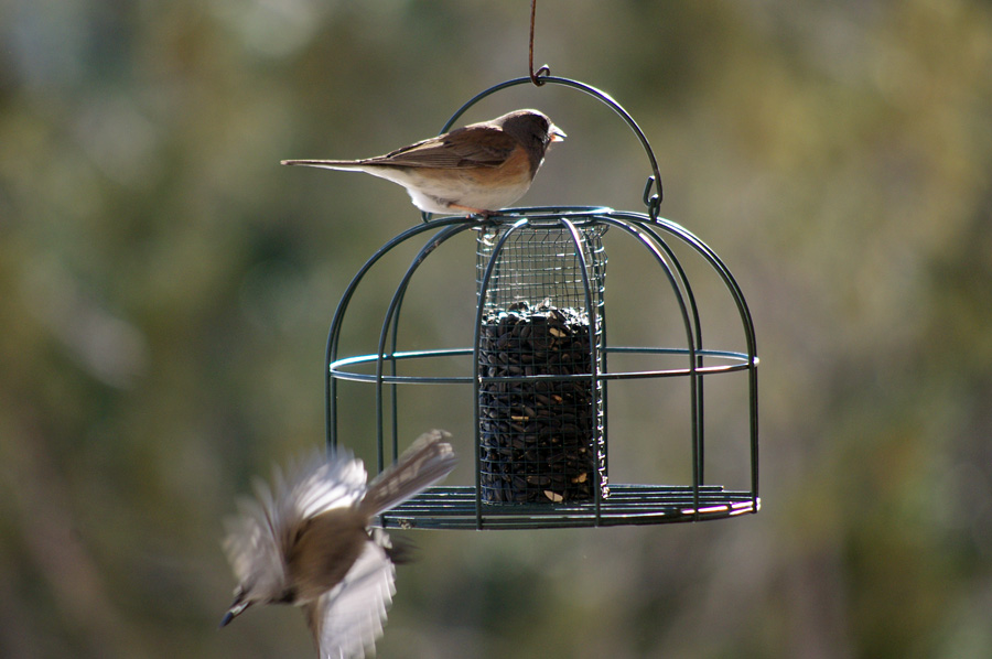 juncos on feeder in Taos, NM