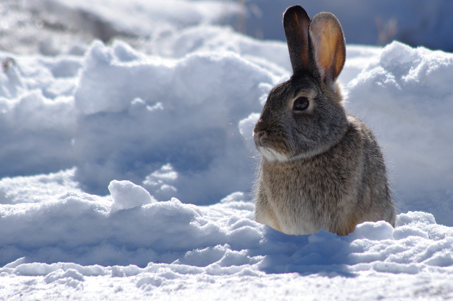 rabbit in the Taos snow