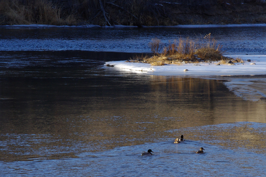 retreating mallards on the Rio Grande