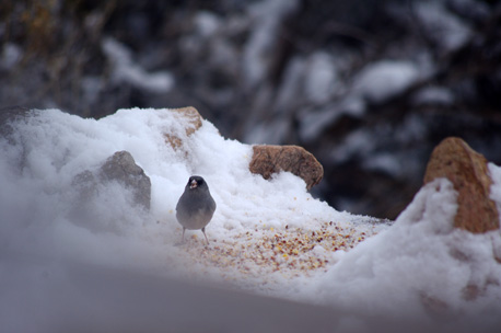 junco on the feeder