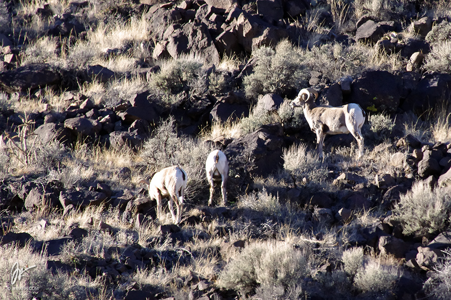 Bighorn sheep in the Rio Grande Gorge