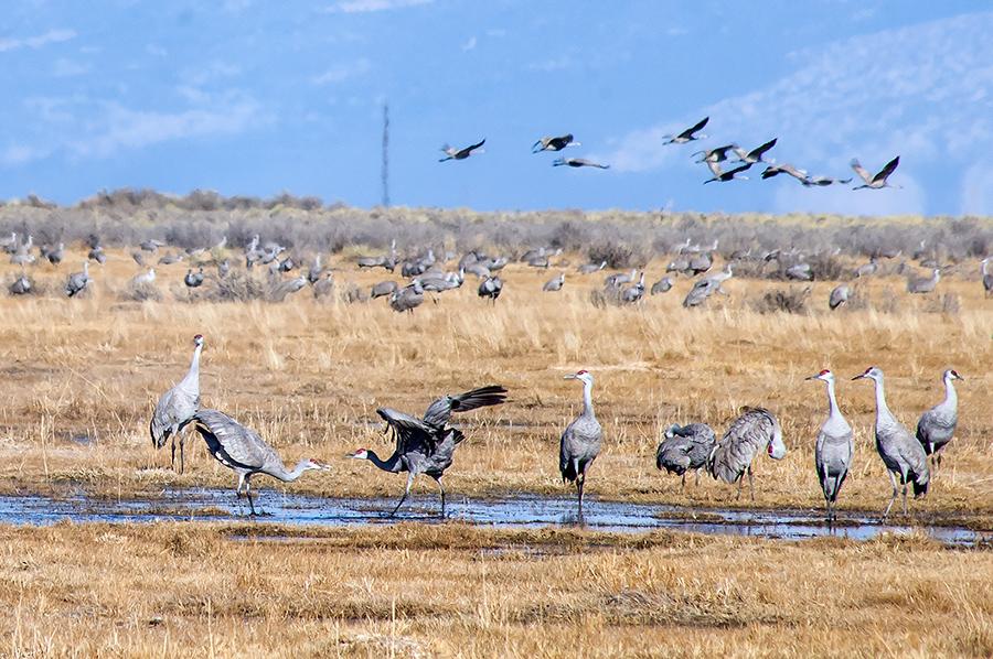 sandhill cranes up close