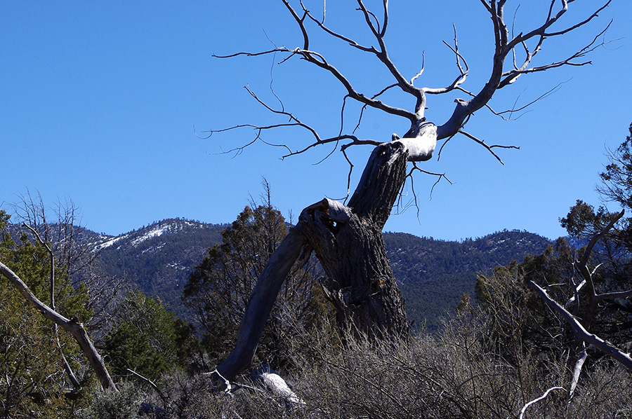 dead cottonwood and mountains south of Taos