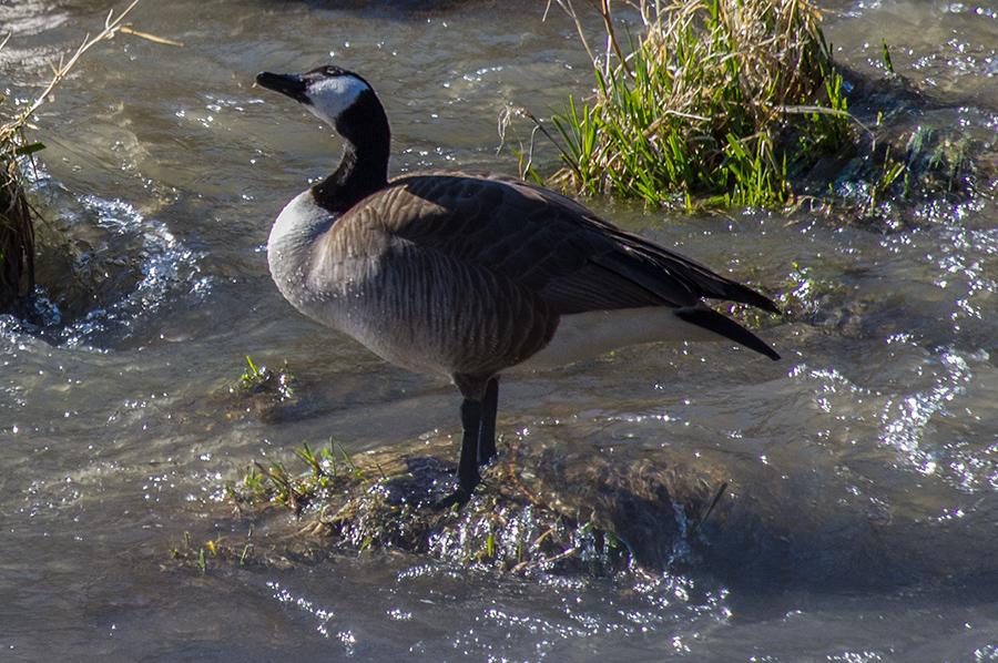 female Canada goose