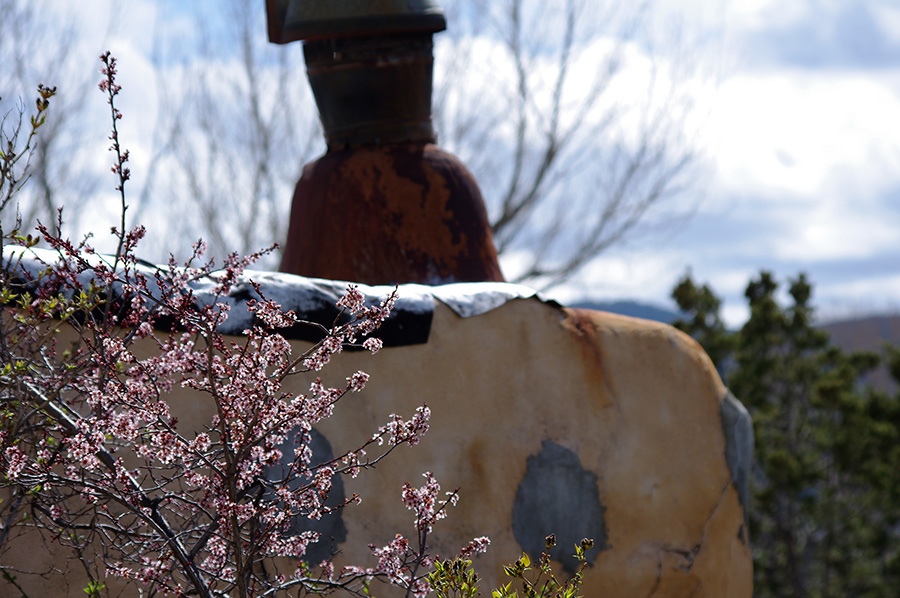 blooming plum tree in Taos