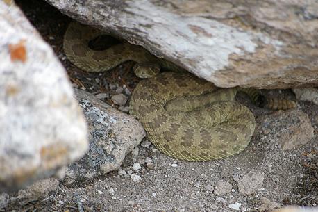Tsankawi rattlesnake