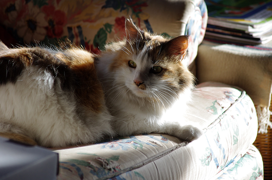 Callie the Wonder Cat in Taos, New Mexico