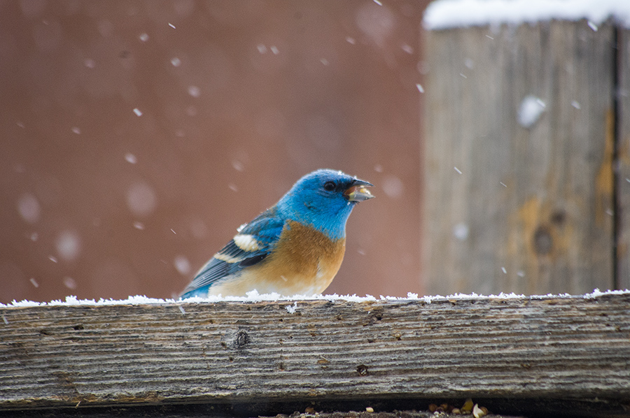 lazuli bunting in the snow