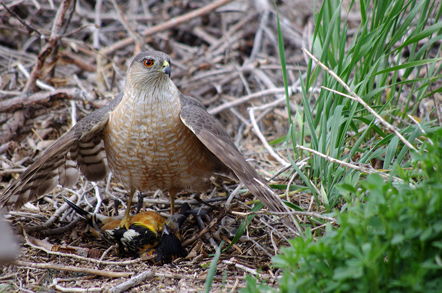 Cooper's Hawk with downed black-headed grosbeak