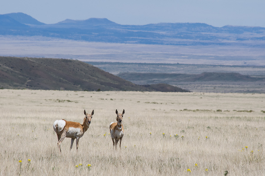 Pronghorns in a sea of grass in northeastern NM