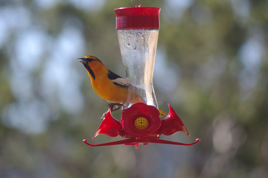 Bullock's Oriole on feeder