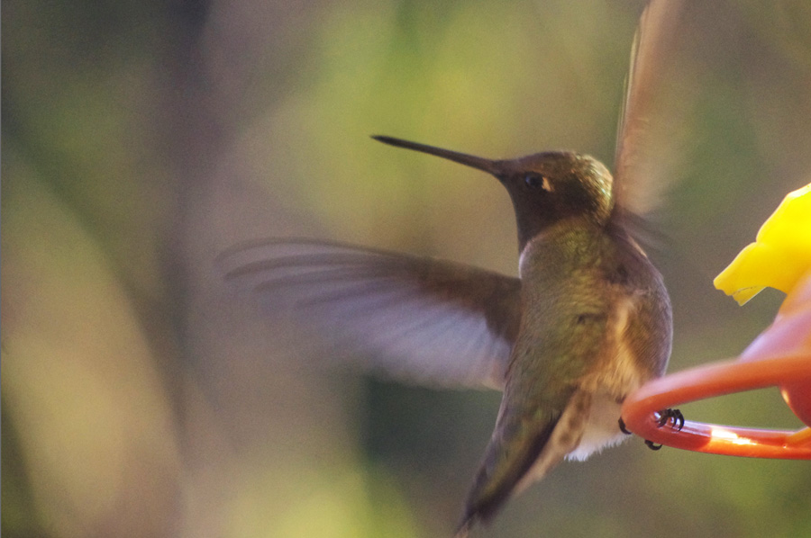 black-chinned hummingbird in Taos, NM