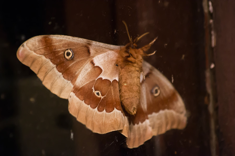 polyphemus moth in Taos, New Mexico