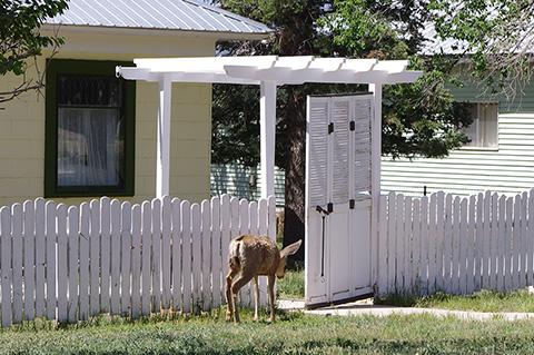 Cimarron deer