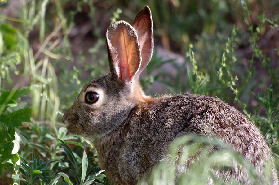 rabbit in the grass in Taos, NM
