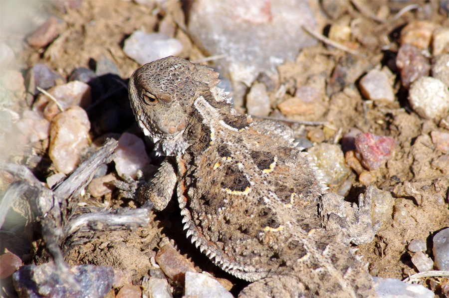 horned toad close-up