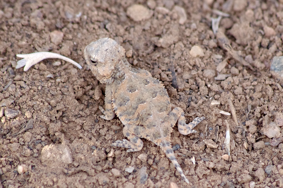 baby horned toad
