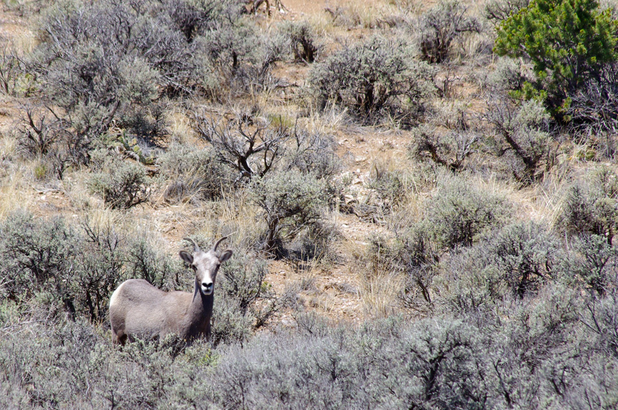 Bighorn ewe at Taos Valley Overlook