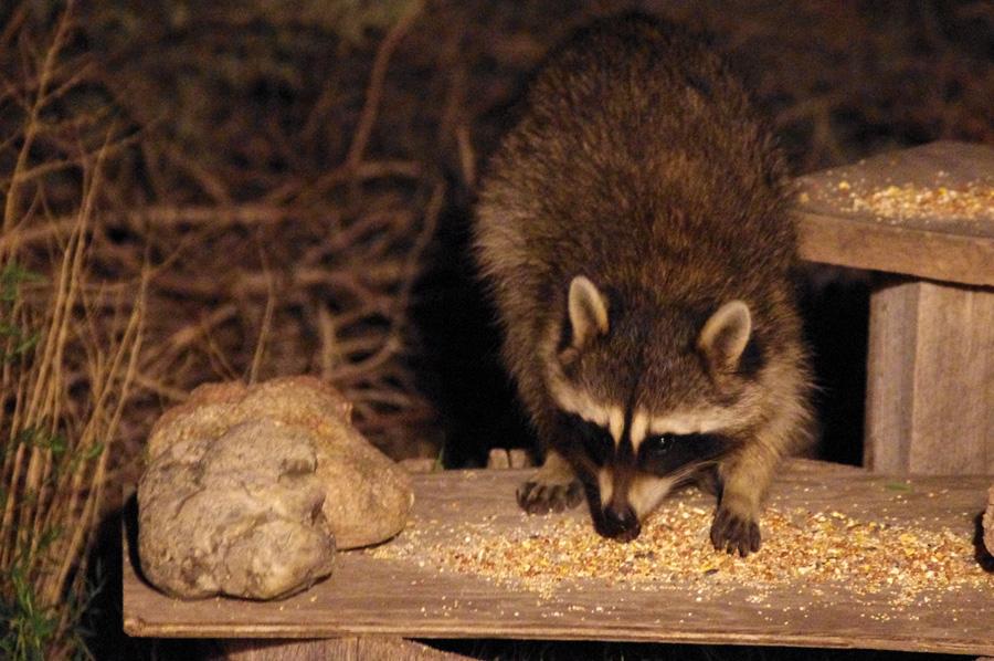 raccoon eating birdseed in Taos, NM
