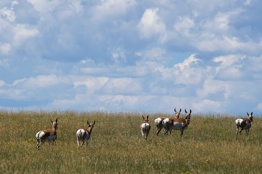pronghorns east of Raton