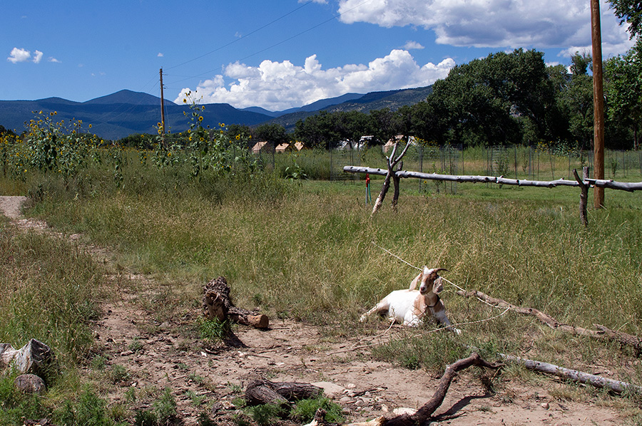 A goat in Rayado