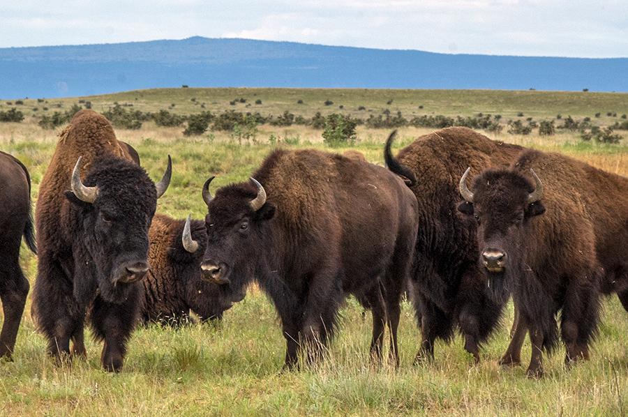 buffalo east of Cimarron