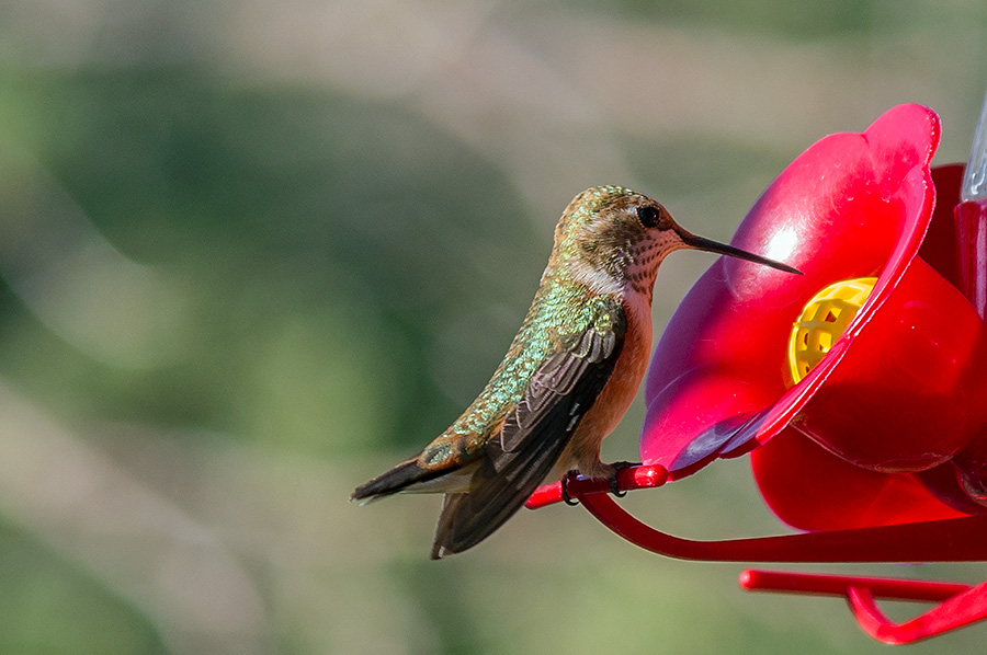 immature female rufous hummingbird