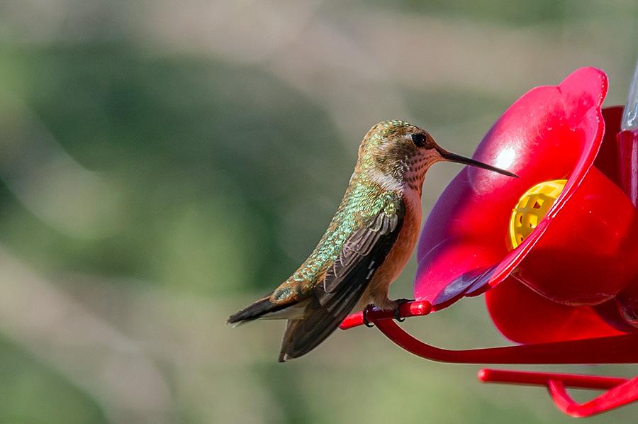 immature female rufous hummingbird
