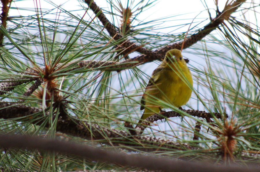 maybe a yellow warbler