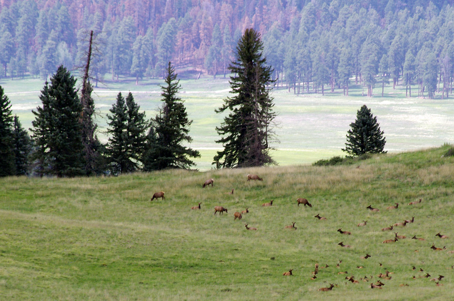 elk in the Valle Grande of the Valles Caldera