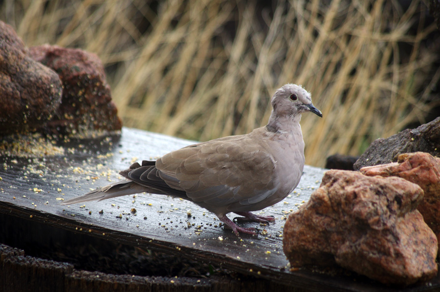 collared dove in the rain