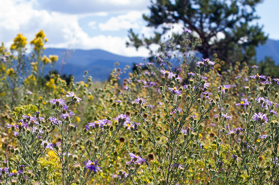 NM wildflowers