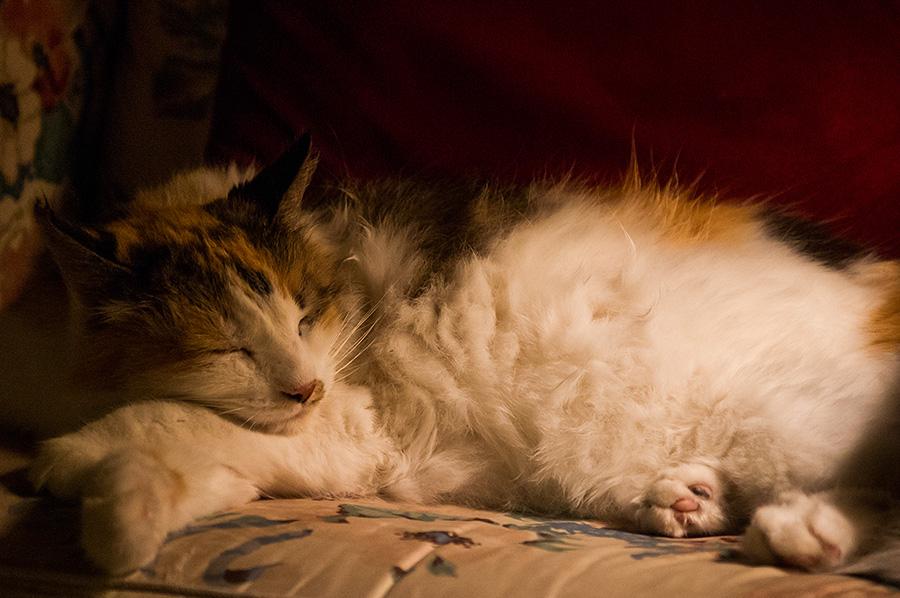 Callie the Wonder Cat