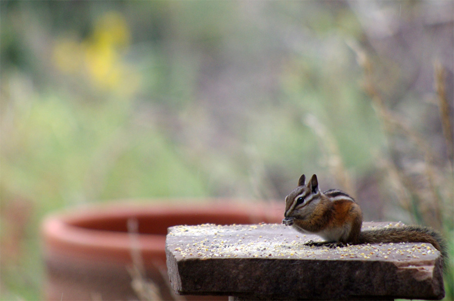 chipmunk on bird feeder