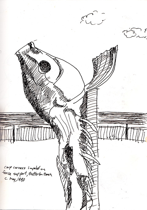 carp sketch