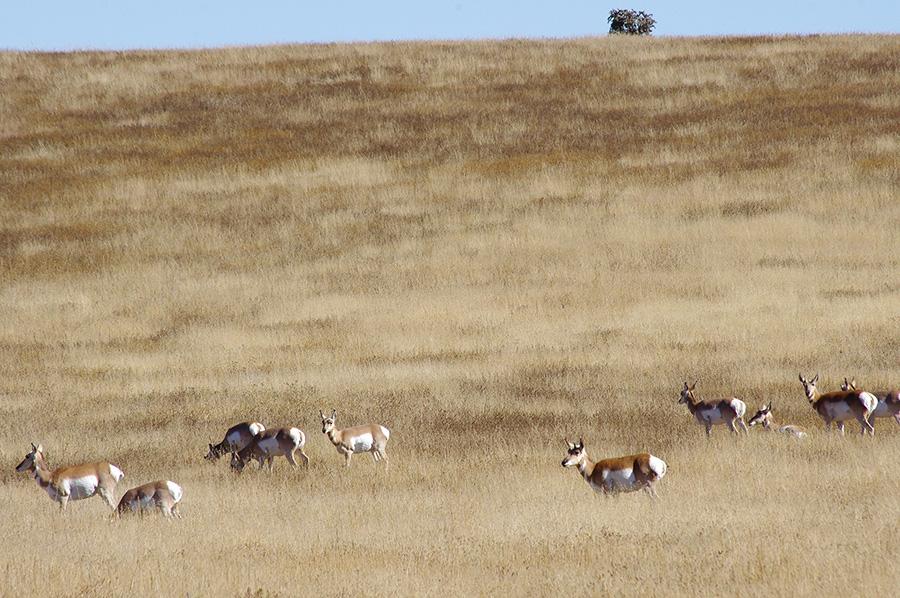 pronghorn antelope near Cimarron, NM