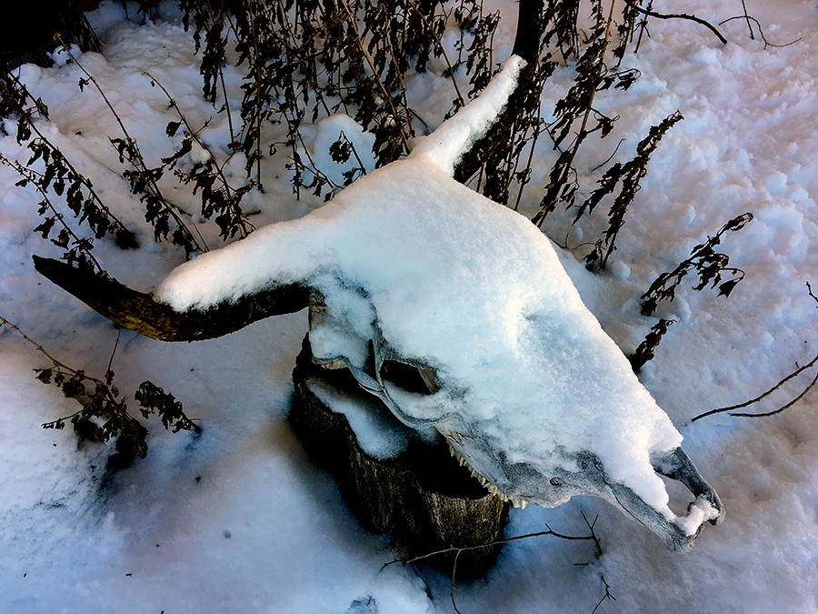 steer skull in snow