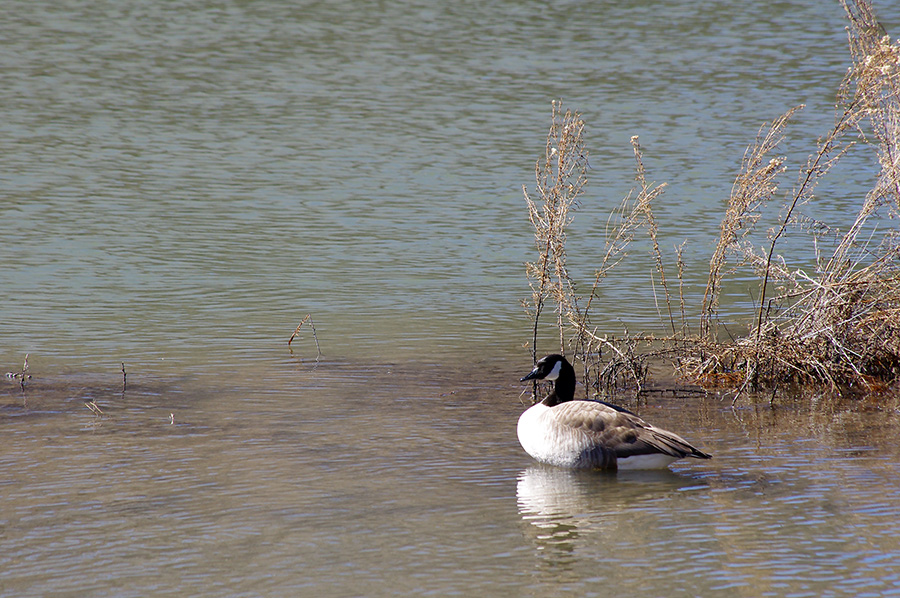 Canada goose on the Rio Grande near Pilar, NM