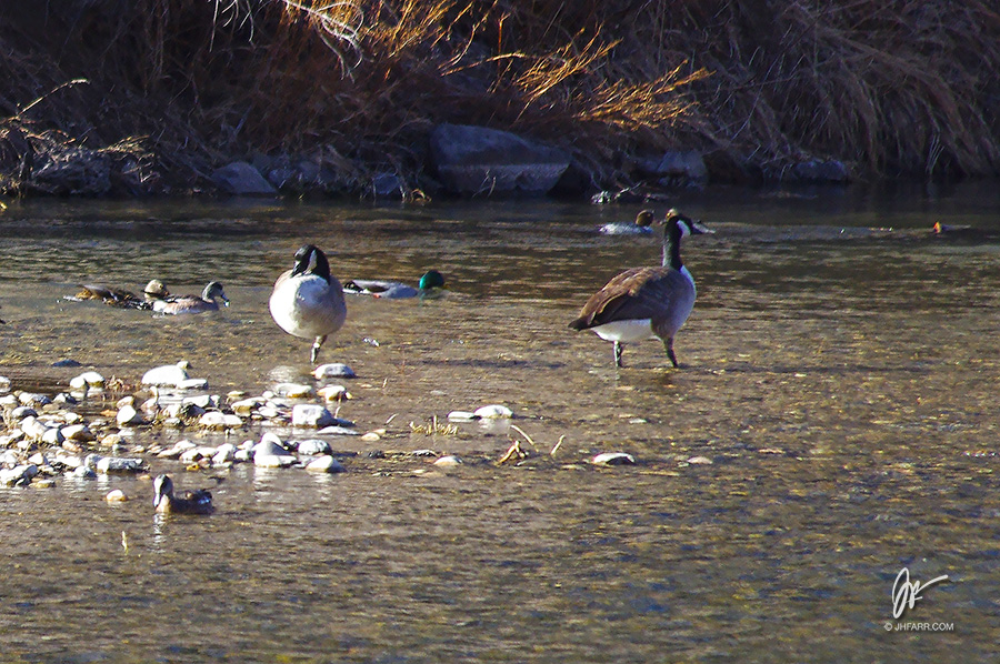 Canada geese on the Rio Grande near Pilar, NM