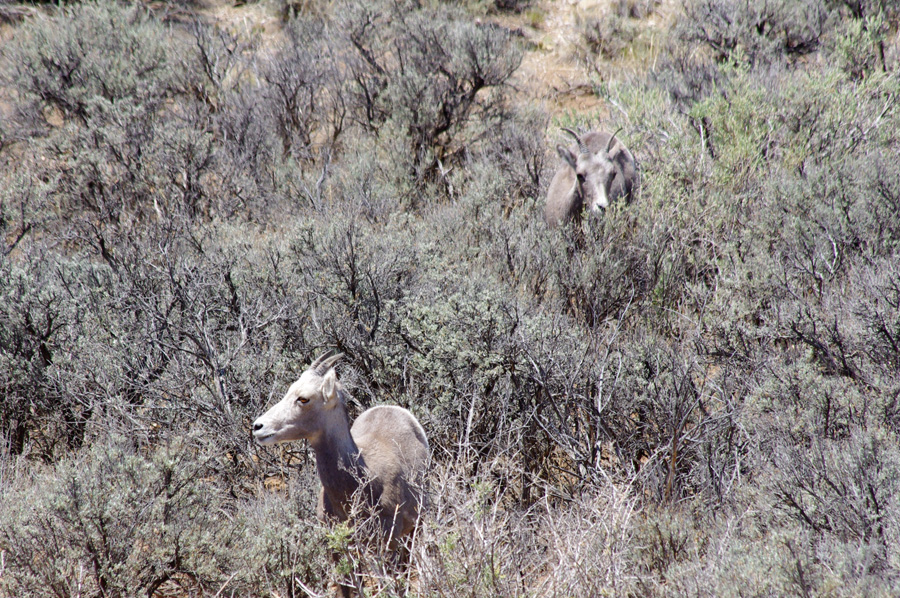 bighorn ewes at Taos Valley Overlook