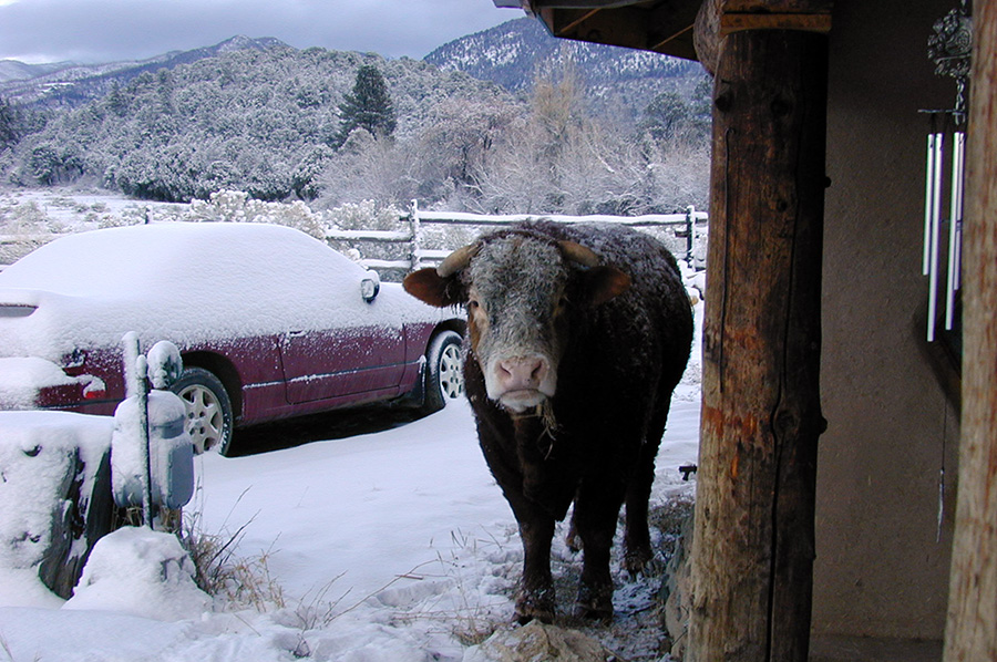 bull outside the front door in the mountains
